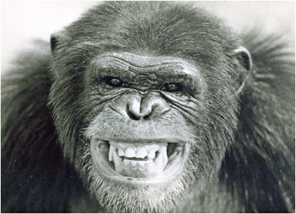snarling-chimpanzee.png